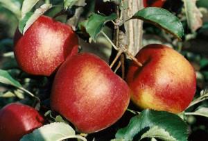 Догляд за молодими яблунями - правила та поради садівнику.