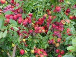 Красная алыча, посадить дома из саженца, Выращивания алычи в саду на даче возле дома с косточки, корня.