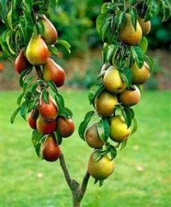 груша плодове дерево