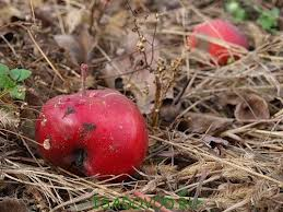 The apples are falling in the garden, what to do?