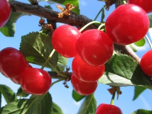 причини чому перестала плодоносити вишня