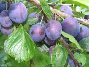 Слива и сливо-вишневые гибриды фото, уход