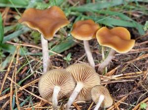 галлюциногенные грибы фото - серная голова, картинки галлюциногенные грибы