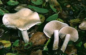 Несъедобный гриб гебелома фото, описание. Несъедобные грибы с названиями фото и описание. Как отличить несъедобные грибы от съедобных