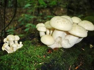 Съедобный гриб лиофиллум ильмовый (Lyophyllum ulmarium) или вешенка ильмовая, фото и описание съедобных грибов с названиями, как выглядит лиофиллум, где искать.