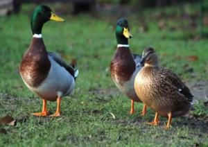 утримання качок на дачі влітку, вирощування качок в будинку, як правильно, скільки часу зростає качка, як і скільки годувати качок на дачі