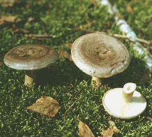 Условно съедобный гриб серушка фото и описание, как выглядит несъедобный гриб серушка
