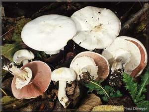 Ядовитый гриб шампиньон желтокожий, или шампиньон рыжеющий фото и описание ядовитых грибов с названиями. Картинки ядовитых грибов для детей и родителей. Как выглядит несъедобный шампиньон.