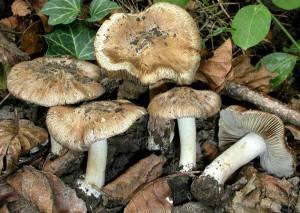 Отруйний гриб іноцибе фото і опис. Список отруйних грибів які потрібно знати дітям, картинки для дітей. Як визначити отруйний чи гриб.