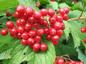 The viburnum ordinary, the planting and care