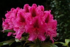Дерево Рододендрон рожевий, як доглядати в домашніх умовах. Квітка рододендрон фото. Гарний квітка, фото і опис.