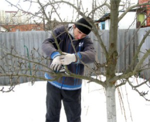 The cutting of fruit trees in the winter