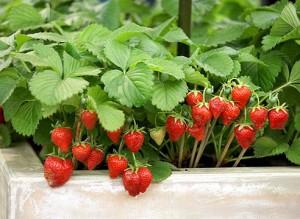 Як вирощувати садову суницю в теплиці або на дачі, опис, догляд та вирощування суниці садової.