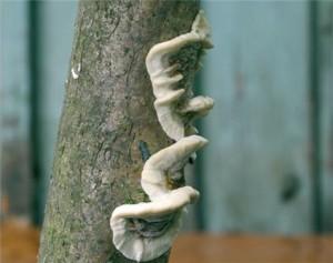 Гриб ядовитый Бьеркандера опаленная. Как выглядит Бьеркандера опаленная в лесу. Фото и описание ядовитых грибов с названиями.