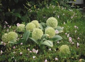 Декоративна цибуля з ліловими квітками в дизайні саду. Фото цибулі декоративної, сорти.