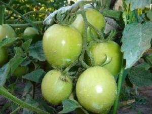 Дозрівання зелених помідорів. Коли збирати помідори з кущів. Поради городникові по вирощуванню помідорів.