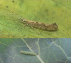 Фото, капустяна міль, як виглядає капустяний білянка метелик або гусінь. Заходи боротьби з капустяною міллю. Поради городникам.