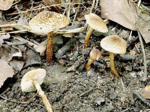 Ядовитый гриб каштановый зонтик, фото и описание гриба.
