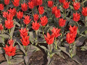 Багаторічні тюльпани Грейга, Дарвіна, Кауфмана. Тюльпани Фостера. Види багаторічних тюльпанів для садової ділянки. Поради квітникарю.