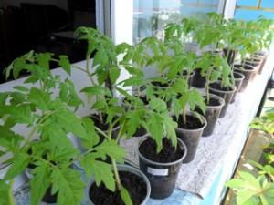 Як вирощувати розсаду перцю, квітів, помідорів, огірків в квартирі, в домашніх умовах. Досвічування розсади будинку.