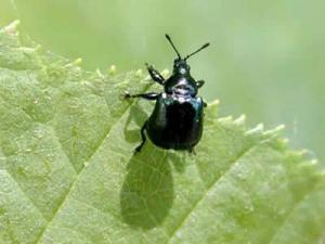 Beetle Attelabidae or Apple blossom weevil