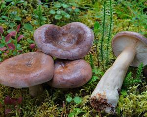 млечники фото грибы