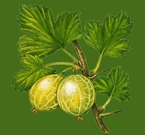 How to prune your gooseberries.