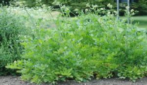 Лекарственный свойства травы любистока, фото, применение. Как выращивать и ухаживать, поливать на огороде.