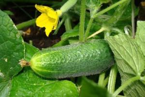 Как правильно выращивать огурцы в квартире, уход за рассадой, сколько нужно поливать. Советы начинающему огороднику.