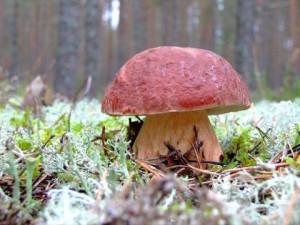 Как выглядит гриб боровик, где искать, фото и описание. Съедобные грибы семейства боровиков.