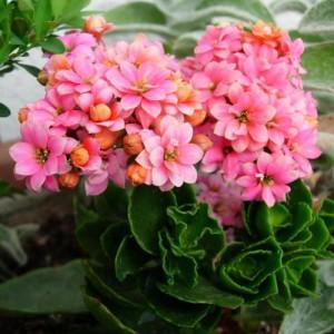 Квітка каланхое, догляд в домашніх умовах.