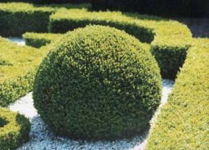 Буксус самшит вічнозелений, догляд в домашніх умовах, фото і опис.