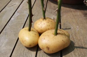 Укоренение черенков роз из букета в картошке в домашних условиях, фото и инструкция.