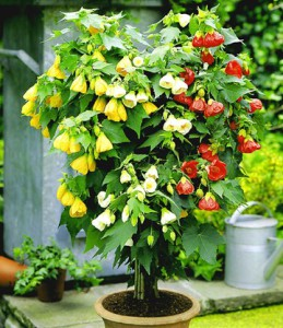 Цветок абутилона, фото