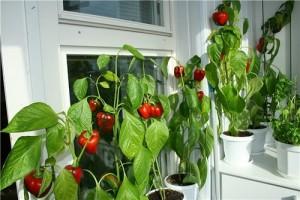 Выращиваем помидоры, огурцы, зелень в квартире, в мини огороде на балконе.