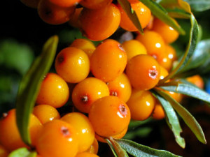 Tips on breeding of Sea buckthorn in the home.