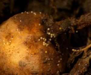 Хвороба картоплі - золотиста нематода, фото і поради по лікуванню хвороби.