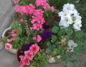 Красивые цветы в контейнерах, в саду.