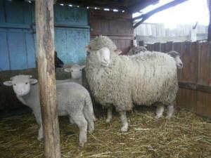 Як виглядає Асканійська порода овець, опис, характеристика, фото.