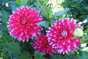 Красивые цветы георгины многолетние, уход и выращивание в открытом грунте, фото.