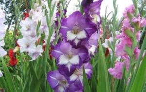 Як виглядають гладіолуси (фото). Умови вирощування, догляд за квітами після цвітіння.