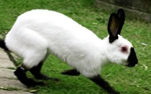 Кролик російської горностаєвої породи, фото і опис.