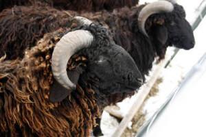 Каракульские овцы, описание породы, характеристика и фото.