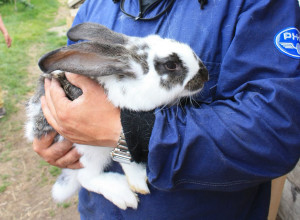 Які хвороби та захворювання кроликів, опис, способи лікування, симптоми.