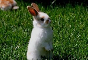 Кормление молодых кроликов, потребность в клетчатке, рацион, способ и количество корма.