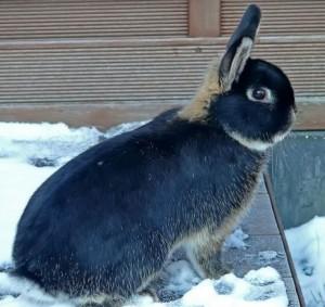 Порода кроликів Аляска, фото і опис