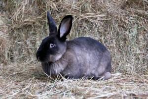 Порода кроликів радянський мардер, фото і опис.