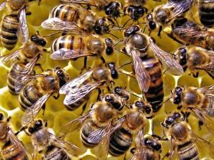 Як підсадити матку до бджіл у вулик, як виглядає, її роль. Фото і опис.
