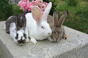 Молочность у крольчих, описание, как повысить.