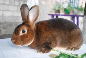 Кролі породи Шиншила Рекс, фото і опис